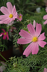Sensation Cosmos (Cosmos 'Sensation') at Van Atta's Greenhouse