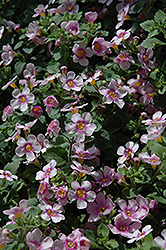 Scopia Great Pink Ring Bacopa (Sutera cordata 'Scopia Great Pink Ring') at Van Atta's Greenhouse