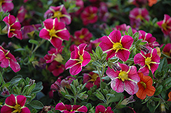 Superbells® Cherry Star Calibrachoa (Calibrachoa 'Superbells Cherry Star') at Van Atta's Greenhouse