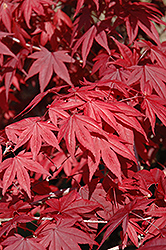 Emperor I Japanese Maple (Acer palmatum 'Wolff') at Van Atta's Greenhouse