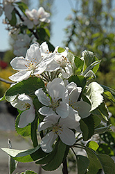 Cortland Apple (Malus 'Cortland') at Van Atta's Greenhouse