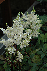 Younique White™ Astilbe (Astilbe 'Verswhite') at Van Atta's Greenhouse