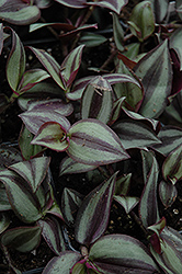 Wandering Jew (Zebrina pendula) at Van Atta's Greenhouse