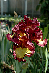 Drama Queen Iris (Iris 'Drama Queen') at Van Atta's Greenhouse
