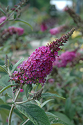 Miss Ruby Butterfly Bush (Buddleia davidii 'Miss Ruby') at Van Atta's Greenhouse