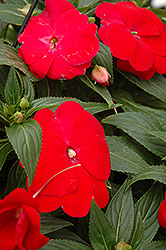 Sonic® Red New Guinea Impatiens (Impatiens 'Sonic Red') at Van Atta's Greenhouse