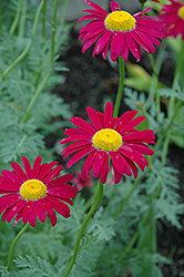 Robinson's Red Painted Daisy (Tanacetum coccineum 'Robinson's Red') at Van Atta's Greenhouse