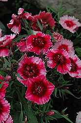 Super Parfait™ Raspberry Pinks (Dianthus 'Super Parfait Raspberry') at Van Atta's Greenhouse