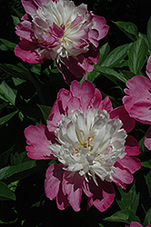 Gay Paree Peony (Paeonia 'Gay Paree') at Van Atta's Greenhouse