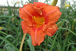 South Seas Daylily (Hemerocallis 'South Seas') at Van Atta's Greenhouse