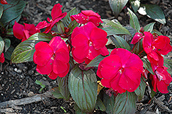Accent™ Red Impatiens (Impatiens walleriana 'Accent Red') at Van Atta's Greenhouse