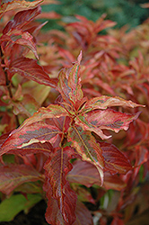 My Monet® Sunset Weigela (Weigela florida 'Sunset') at Van Atta's Greenhouse