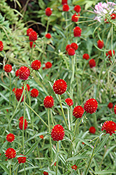 Strawberry Fields Gomphrena (Gomphrena haageana 'Strawberry Fields') at Van Atta's Greenhouse