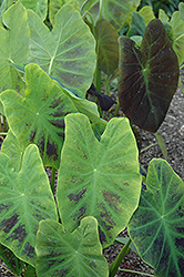 Illustris Elephant Ear (Colocasia esculenta 'Illustris') at Van Atta's Greenhouse