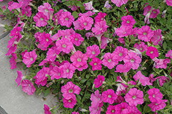 Easy Wave® Pink Petunia (Petunia 'Easy Wave Pink') at Van Atta's Greenhouse