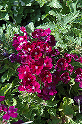 Lanai® Royal Purple with Eye Verbena (Verbena 'Lanai Royal Purple with Eye') at Van Atta's Greenhouse