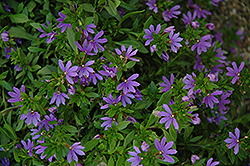 Bombay® Dark Blue Fan Flower (Scaevola aemula 'Bombay Dark Blue') at Van Atta's Greenhouse