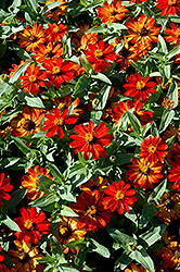 Zahara® Fire Zinnia (Zinnia 'Zahara Fire') at Van Atta's Greenhouse