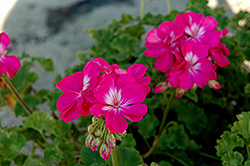 Fidelity Hot Pink Geranium (Pelargonium 'Fidelity Hot Pink') at Van Atta's Greenhouse