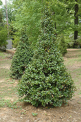 Castle Spire® Meserve Holly (Ilex x meserveae 'Hachfee') at Van Atta's Greenhouse