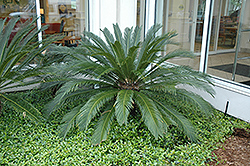 Japanese Sago Palm (Cycas revoluta) at Van Atta's Greenhouse
