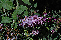 Lo And Behold® Lilac Chip Dwarf Butterfly Bush (Buddleia 'Lo And Behold Lilac Chip') at Van Atta's Greenhouse