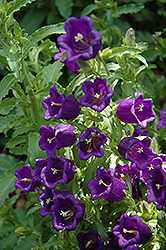 Champion Pro Deep Blue Canterbury Bells (Campanula 'Champion Pro Deep Blue') at Van Atta's Greenhouse