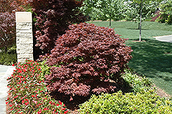 Rhode Island Red Japanese Maple (Acer palmatum 'Rhode Island Red') at Van Atta's Greenhouse