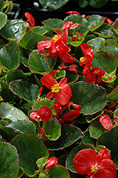 Super Olympia Red Begonia (Begonia 'Super Olympia Red') at Van Atta's Greenhouse