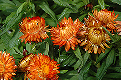 Helica Orange Strawflower (Bracteantha bracteata 'Helica Orange') at Van Atta's Greenhouse