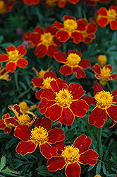 Disco Red Marigold (Tagetes patula 'Disco Red') at Van Atta's Greenhouse