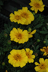 Disco Yellow Marigold (Tagetes patula 'Disco Yellow') at Van Atta's Greenhouse