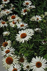 Fragrant Angel White Coneflower (Echinacea purpurea 'Fragrant Angel') at Van Atta's Greenhouse