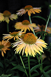 Big Kahuna Coneflower (Echinacea 'Big Kahuna') at Van Atta's Greenhouse