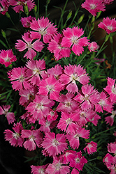 Kahori Pinks (Dianthus 'Kahori') at Van Atta's Greenhouse