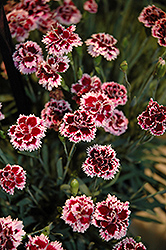 EverLast™ Lilac plus Eye Pinks (Dianthus 'EverLast Lilac Plus Eye') at Van Atta's Greenhouse