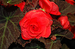 Nonstop® Mocca Cherry Begonia (Begonia 'Nonstop Mocca Cherry') at Van Atta's Greenhouse