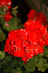 Rocky Mountain Orange Geranium (Pelargonium 'Rocky Mountain Orange') at Van Atta's Greenhouse
