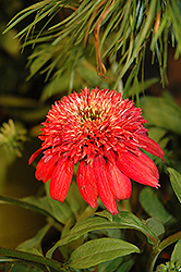 Double Scoop™ Cranberry Coneflower (Echinacea 'Balscanery') at Van Atta's Greenhouse