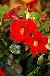 Rio Dark Red Mandevilla (Mandevilla 'Rio Dark Red') at Van Atta's Greenhouse