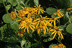 Othello Rayflower (Ligularia dentata 'Othello') at Van Atta's Greenhouse