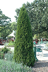 Emerald Green Arborvitae (Thuja occidentalis 'Smaragd') at Van Atta's Greenhouse