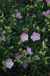 Party Girl Prairie Mallow (Sidalcea 'Party Girl') at Van Atta's Greenhouse
