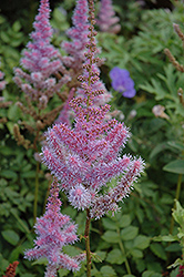 Purple Candles Astilbe (Astilbe chinensis 'Purple Candles') at Van Atta's Greenhouse