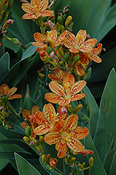 Freckle Face Blackberry Lily (Belamcanda chinensis 'Freckle Face') at Van Atta's Greenhouse