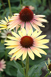 Evening Glow Coneflower (Echinacea 'Evening Glow') at Van Atta's Greenhouse