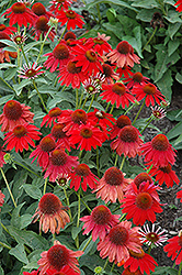 Sombrero® Salsa Red Coneflower (Echinacea 'Balsomsed') at Van Atta's Greenhouse