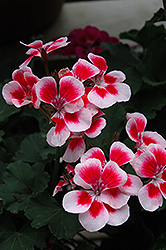 Tango Rose Mega Splash Geranium (Pelargonium 'Tango Rose Mega Splash') at Van Atta's Greenhouse
