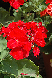 Americana® Dark Red Geranium (Pelargonium 'Americana Dark Red') at Van Atta's Greenhouse
