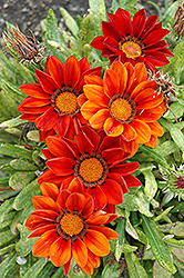 New Day Clear Red Shades (Gazania 'New Day Red Shades') at Van Atta's Greenhouse